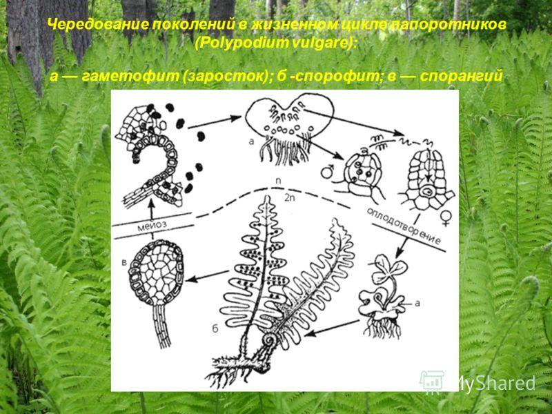 Чередование поколений в жизненном цикле папоротников (Polypodium vulgare): а гаметофит (заросток); б -спорофит; в спорангий