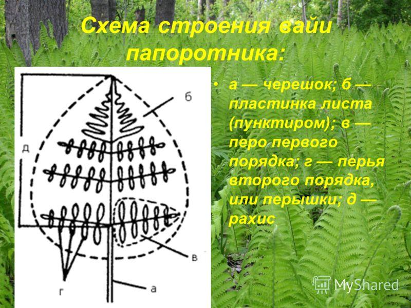 Схема строения вайи папоротника: а черешок; б пластинка листа (пунктиром); в перо первого порядка; г перья второго порядка, или перышки; д рахис