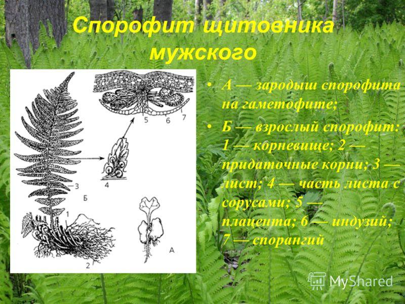 Спорофит щитовника мужского А зародыш спорофита на гаметофите; Б взрослый спорофит: 1 корневище; 2 придаточные корни; 3 лист; 4 часть листа с сорусами; 5 плацента; 6 индузий; 7 спорангий