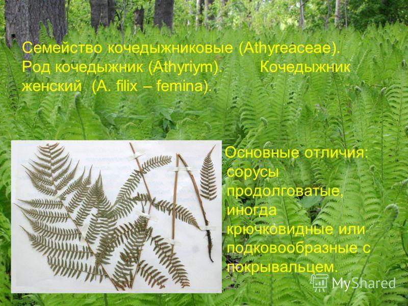 Семейство кочедыжниковые (Athyreaceae). Род кочедыжник (Athyriym). Кочедыжник женский (A. filix – femina). Основные отличия: сорусы продолговатые, иногда крючковидные или подковообразные с покрывальцем.