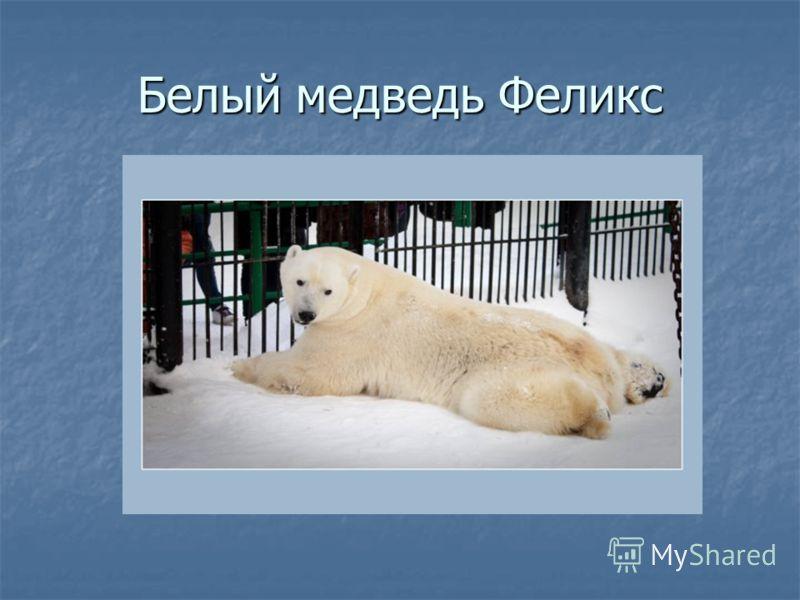 Белый медведь Феликс