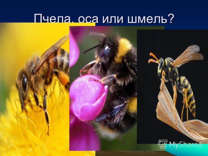 Пчела, оса или шмель?