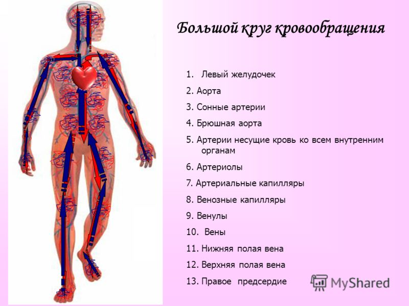 Большой круг кровообращения 1.Левый желудочек 2. Аорта 3. Сонные артерии 4. Брюшная аорта 5. Артерии несущие кровь ко всем внутренним органам 6. Артериолы 7. Артериальные капилляры 8. Венозные капилляры 9. Венулы 10. Вены 11. Нижняя полая вена 12. Ве