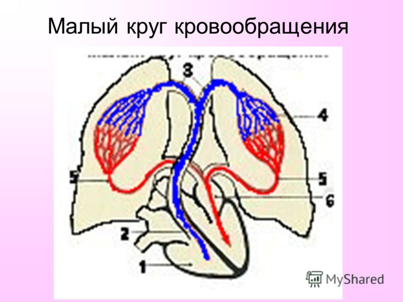 Круг Кровообращения Большой фото