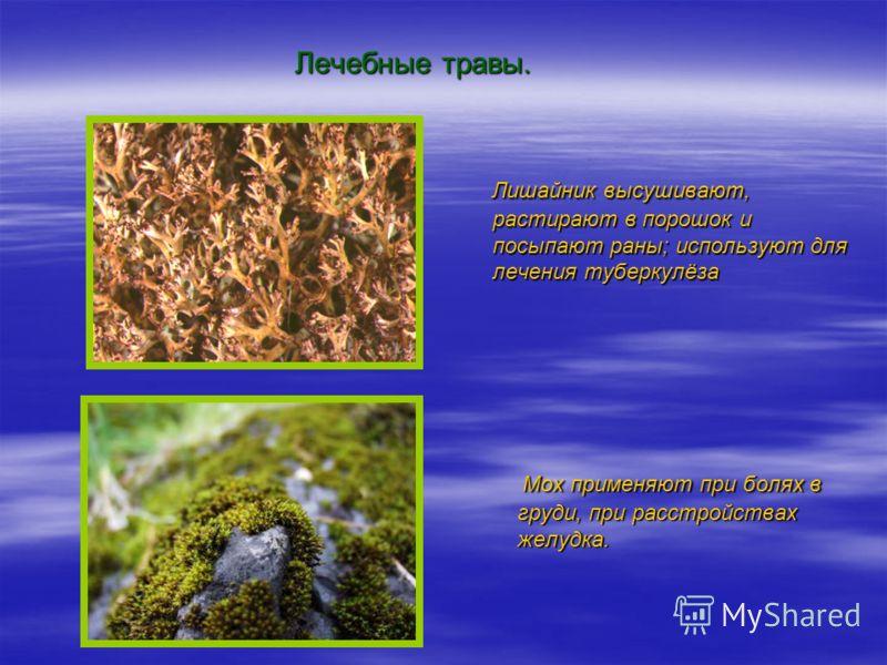 Лечебные травы. Лишайник высушивают, растирают в порошок и посыпают раны; используют для лечения туберкулёза Лишайник высушивают, растирают в порошок и посыпают раны; используют для лечения туберкулёза Мох применяют при болях в груди, при расстройств