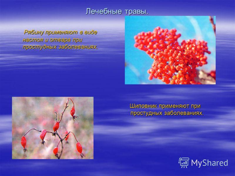 Лечебные травы. Рябину применяют в виде настоя и отвара при простудных заболеваниях. Рябину применяют в виде настоя и отвара при простудных заболеваниях. Шиповник применяют при простудных заболеваниях. Шиповник применяют при простудных заболеваниях.