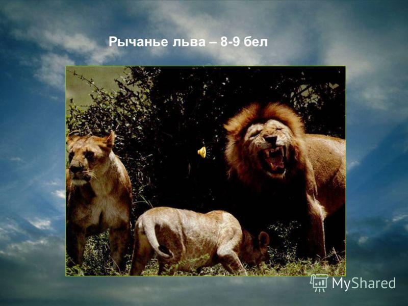Рычанье льва – 8-9 бел