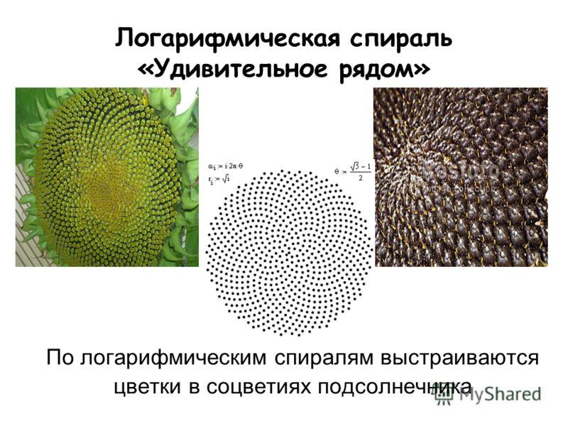 Логарифмическая спираль «Удивительное рядом» По логарифмическим спиралям выстраиваются цветки в соцветиях подсолнечника