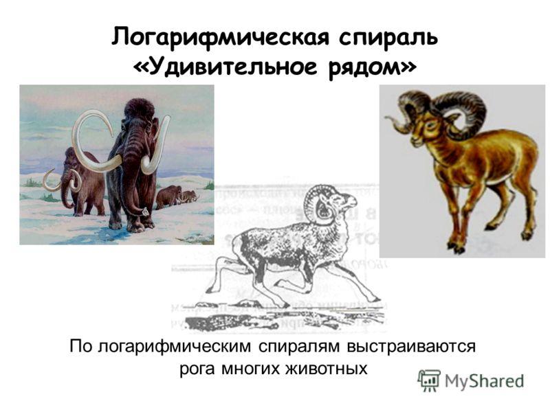 Логарифмическая спираль «Удивительное рядом» По логарифмическим спиралям выстраиваются рога многих животных