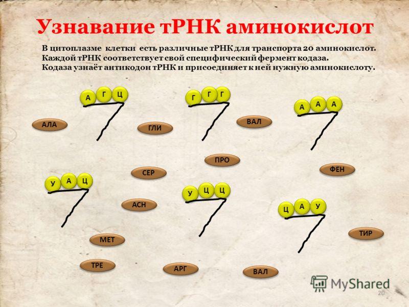 В цитоплазме клетки есть различные тРНК для транспорта 20 аминокислот. Каждой тРНК соответствует свой специфический фермент кодаза. Кодаза узнаёт антикодон тРНК и присоединяет к ней нужную аминокислоту. Г Г Г Г Г Г А А Ц Ц У У Ц Ц Ц Ц А А А А А А У У
