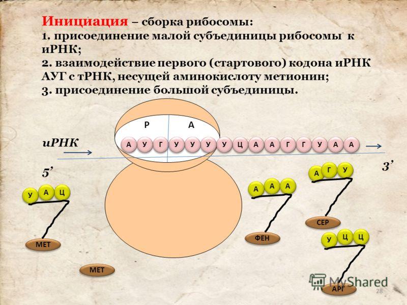 Инициация – сборка рибосомы: 1. присоединение малой субъединицы рибосомы к иРНК; 2. взаимодействие первого (стартового) кодона иРНК АУГ с тРНК, несущей аминокислоту метионин; 3. присоединение большой субъединицы. Г Г Г Г А А А А Ц Ц У У У У У У У У Г