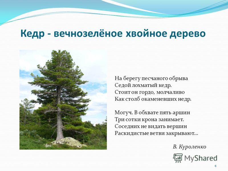 Кедр - вечнозелёное хвойное дерево На берегу песчаного обрыва Седой лохматый кедр. Стоит он гордо, молчаливо Как столб окаменевших недр. Могуч. В обхвате пять аршин Три сотки крона занимает. Соседних не видать вершин Раскидистые ветви закрывают… В. К