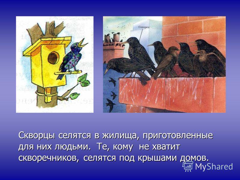 Скворцы селятся в жилища, приготовленные для них людьми. Те, кому не хватит скворечников, селятся под крышами домов.