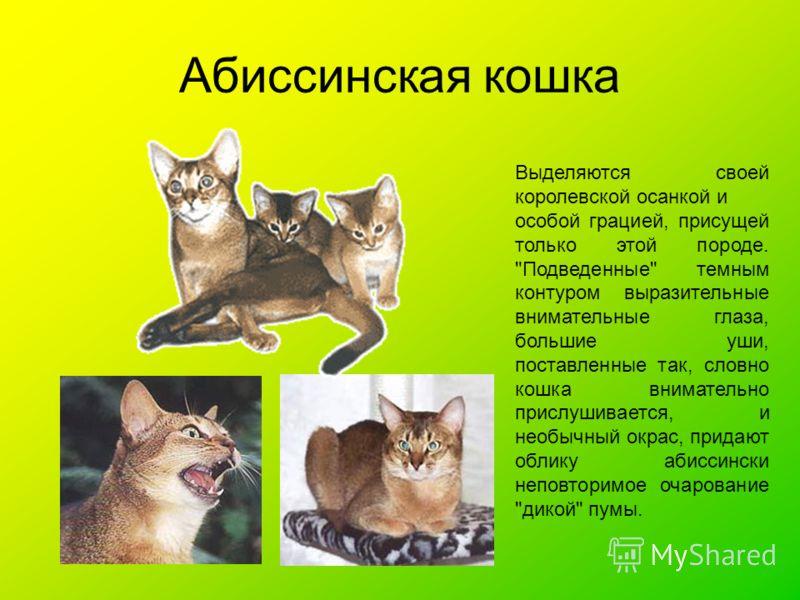 Абиссинская кошка Выделяются своей королевской осанкой и особой грацией, присущей только этой породе.