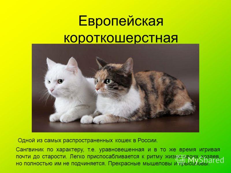 Европейская короткошерстная Одной из самых распространенных кошек в России. Сангвиник по характеру, т.е. уравновешенная и в то же время игривая почти до старости. Легко приспосабливается к ритму жизни своих хозяев, но полностью им не подчиняется. Пре