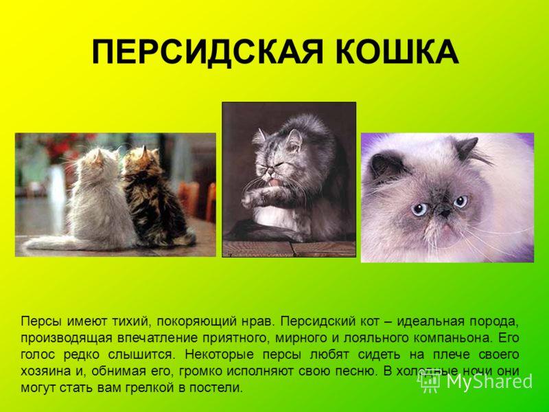ПЕРСИДСКАЯ КОШКА Персы имеют тихий, покоряющий нрав. Персидский кот – идеальная порода, производящая впечатление приятного, мирного и лояльного компаньона. Его голос редко слышится. Некоторые персы любят сидеть на плече своего хозяина и, обнимая его,