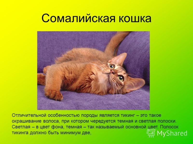 Сомалийская кошка Отличительной особенностью породы является тикинг – это такое окрашивание волоса, при котором чередуется темная и светлая полоски. Светлая – в цвет фона, темная – так называемый основной цвет. Полосок тикинга должно быть минимум две