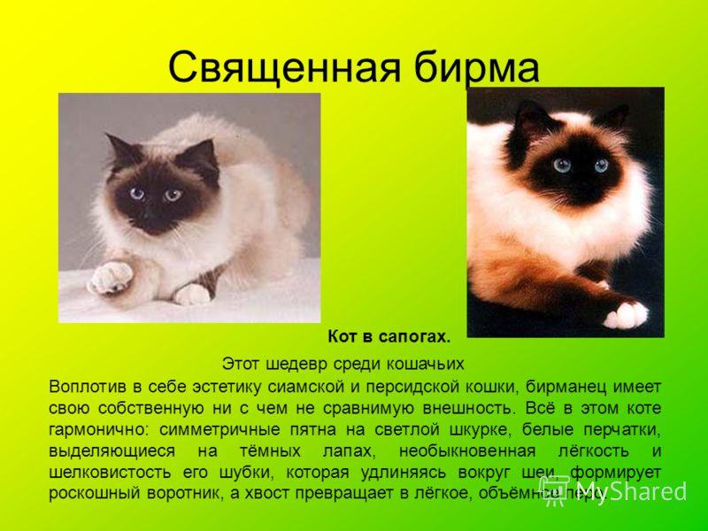 Священная бирма Кот в сапогах. Этот шедевр среди кошачьих Воплотив в себе эстетику сиамской и персидской кошки, бирманец имеет свою собственную ни с чем не сравнимую внешность. Всё в этом коте гармонично: симметричные пятна на светлой шкурке, белые п