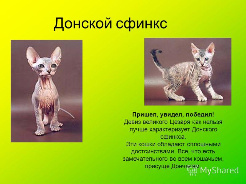 Донской сфинкс Пришел, увидел, победил! Девиз великого Цезаря как нельзя лучше характеризует Донского сфинкса. Эти кошки обладают сплошными достсинствами. Все, что есть замечательного во всем кошачьем, присуще Дончакам.