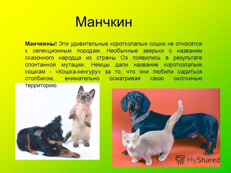 Манчкин Манчкины! Эти удивительные коротколапые кошки не относятся к селекционным породам. Необычные зверьки с названим сказочного народца из страны Оз появились в результате спонтанной мутации. Немцы дали название коротколапым кошкам - «Кошка-кенгур