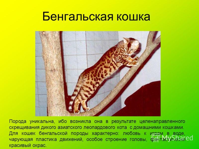 Бенгальская кошка Порода уникальна, ибо возникла она в результате целенаправленного скрещивания дикого азиатского леопардового кота с домашними кошками. Для кошек бенгальской породы характерно: любовь к играм в воде, чарующая пластика движений, особо