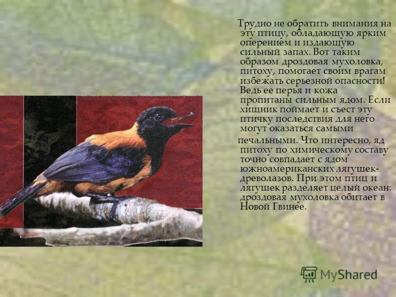 Трудно не обратить внимания на эту птицу, обладающую ярким оперением и издающую сильный запах. Вот таким образом дроздовая мухоловка, питоху, помогает своим врагам избежать серьезной опасности! Ведь ее перья и кожа пропитаны сильным ядом. Если хищни