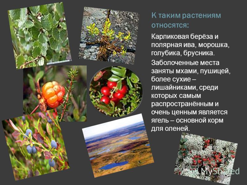 К таким растениям относятся: Карликовая берёза и полярная ива, морошка, голубика, брусника. Заболоченные места заняты мхами, пушицей, более сухие – ли