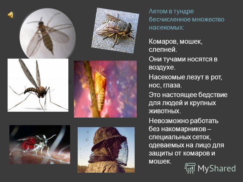 Летом в тундре бесчисленное множество насекомых: Комаров, мошек, слепней. Они тучами носятся в воздухе. Насекомые лезут в рот, нос, глаза. Это настоящее бедствие для людей и крупных животных. Невозможно работать без накомарников – специальных сеток,