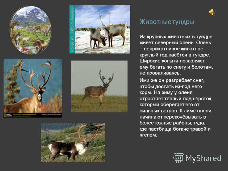 Животные тундры Из крупных животных в тундре живёт северный олень. Олень – неприхотливое животное, круглый год пасётся в тундре. Широкие копыта позвол