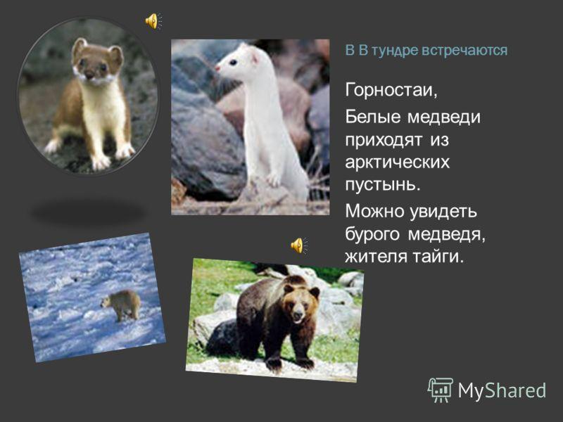 В В тундре встречаются Горностаи, Белые медведи приходят из арктических пустынь. Можно увидеть бурого медведя, жителя тайги.