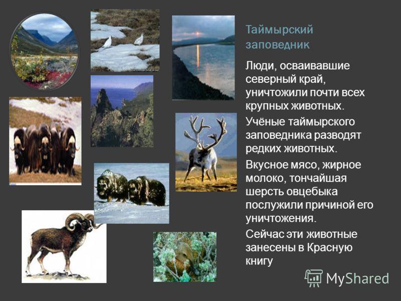 Таймырский заповедник Люди, осваивавшие северный край, уничтожили почти всех крупных животных. Учёные таймырского заповедника разводят редких животных
