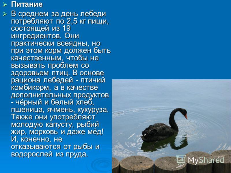 Питание Питание В среднем за день лебеди потребляют по 2,5 кг пищи, состоящей из 19 ингредиентов. Они практически всеядны, но при этом корм должен быть качественным, чтобы не вызывать проблем со здоровьем птиц. В основе рациона лебедей - птичий комби
