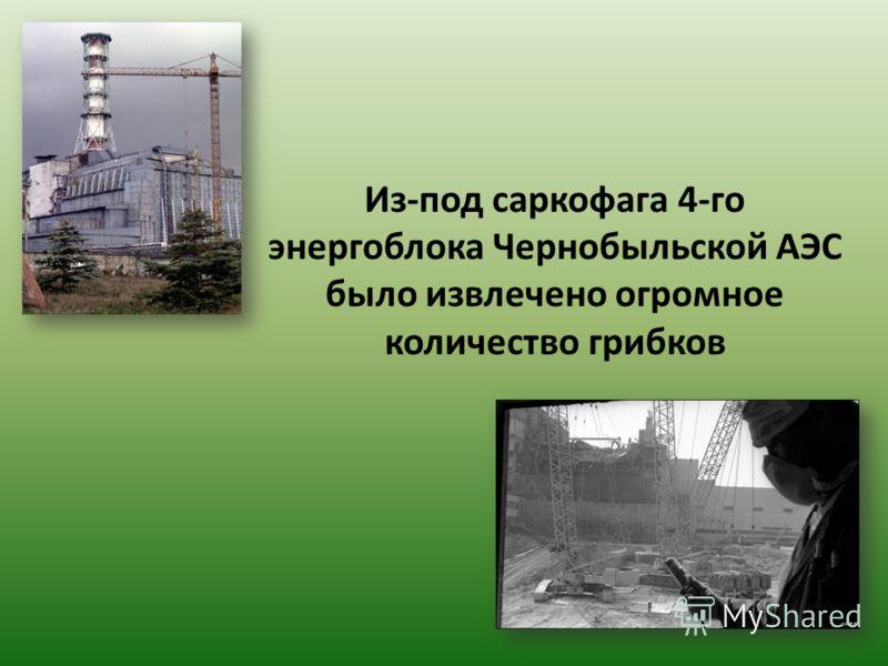 Из-под саркофага 4-го энергоблока Чернобыльской АЭС было извлечено огромное количество грибков
