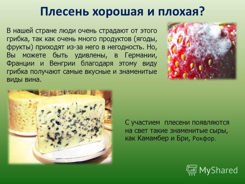 Плесень хорошая и плохая? В нашей стране люди очень страдают от этого грибка, так как очень много продуктов (ягоды, фрукты) приходят из-за него в негодность. Но, Вы можете быть удивлены, в Германии, Франции и Венгрии благодаря этому виду грибка получ