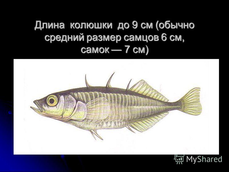 Длина колюшки до 9 см (обычно средний размер самцов 6 см, самок 7 см)
