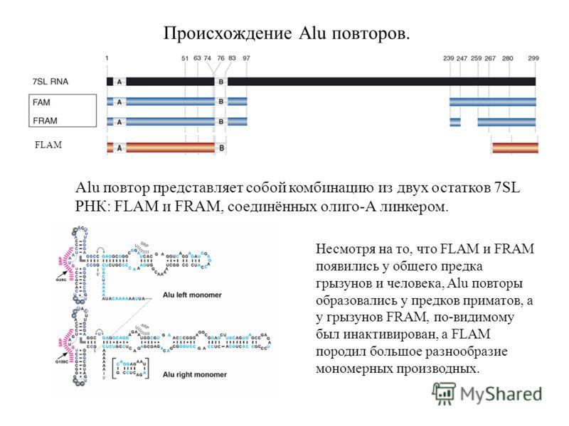 Происхождение Alu повторов. Alu повтор представляет собой комбинацию из двух остатков 7SL РНК: FLAM и FRAM, соединённых олиго-А линкером. FLAM Несмотря на то, что FLAM и FRAM появились у общего предка грызунов и человека, Alu повторы образовались у п