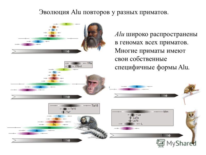 Эволюция Alu повторов у разных приматов. Alu широко распространены в геномах всех приматов. Многие приматы имеют свои собственные специфичные формы Alu.