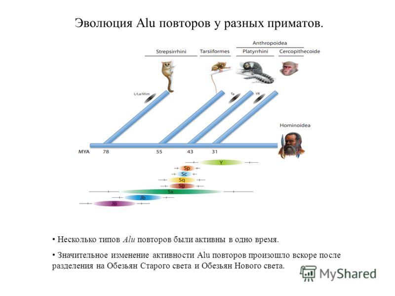 Эволюция Alu повторов у разных приматов. Несколько типов Alu повторов были активны в одно время. Значительное изменение активности Alu повторов произошло вскоре после разделения на Обезьян Старого света и Обезьян Нового света.