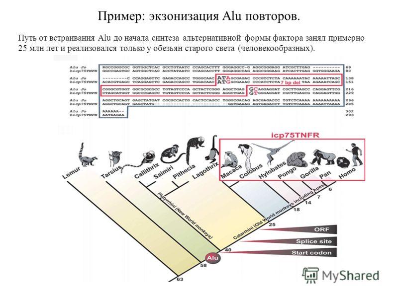 Пример: экзонизация Alu повторов. Путь от встраивания Alu до начала синтеза альтернативной формы фактора занял примерно 25 млн лет и реализовался только у обезьян старого света (человекообразных).