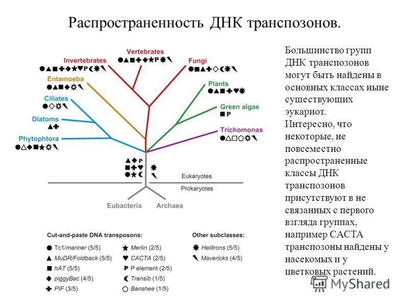 Распространенность ДНК транспозонов. Большинство групп ДНК транспозонов могут быть найдены в основных классах ныне существующих эукариот. Интересно, что некоторые, не повсеместно распространенные классы ДНК транспозонов присутствуют в не связанных с