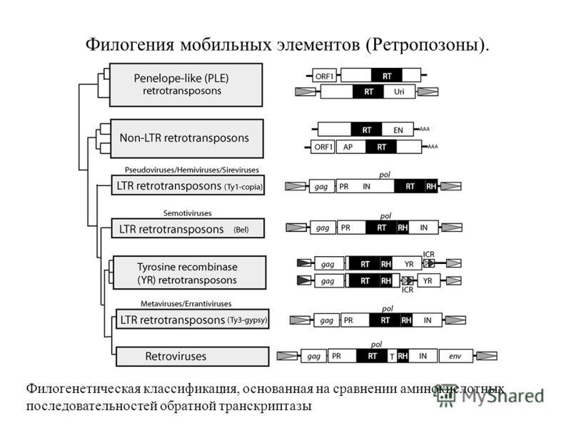 Филогения мобильных элементов (Ретропозоны). Филогенетическая классификация, основанная на сравнении аминокислотных последовательностей обратной транскриптазы