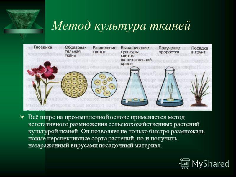 Метод культура тканей Всё шире на промышленной основе применяется метод вегетативного размножения сельскохозяйственных растений культурой тканей. Он позволяет не только быстро размножать новые перспективные сорта растений, но и получить незараженный