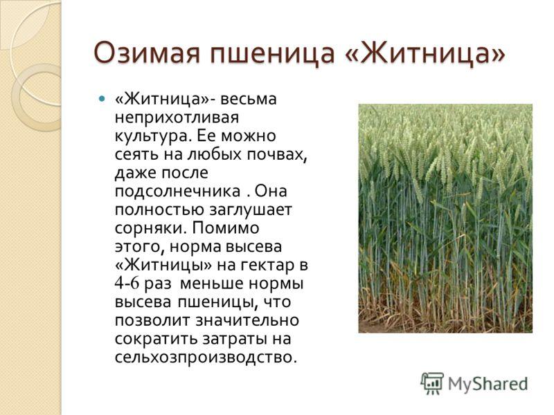 Озимая пшеница « Житница » « Житница »- весьма неприхотливая культура. Ее можно сеять на любых почвах, даже после подсолнечника. Она полностью заглушает сорняки. Помимо этого, норма высева « Житницы » на гектар в 4-6 раз меньше нормы высева пшеницы,