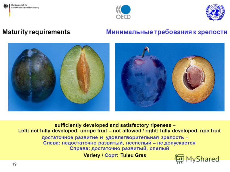19 Maturity requirements Минимальные требования к зрелости sufficiently developed and satisfactory ripeness – Left: not fully developed, unripe fruit – not allowed / right: fully developed, ripe fruit достаточное развитие и удовлетворительная зрелост