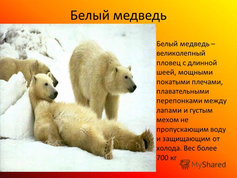 Белый медведь Белый медведь – великолепный пловец с длинной шеей, мощными покатыми плечами, плавательными перепонками между лапами и густым мехом не пропускающим воду и защищающим от холода. Вес более 700 кг