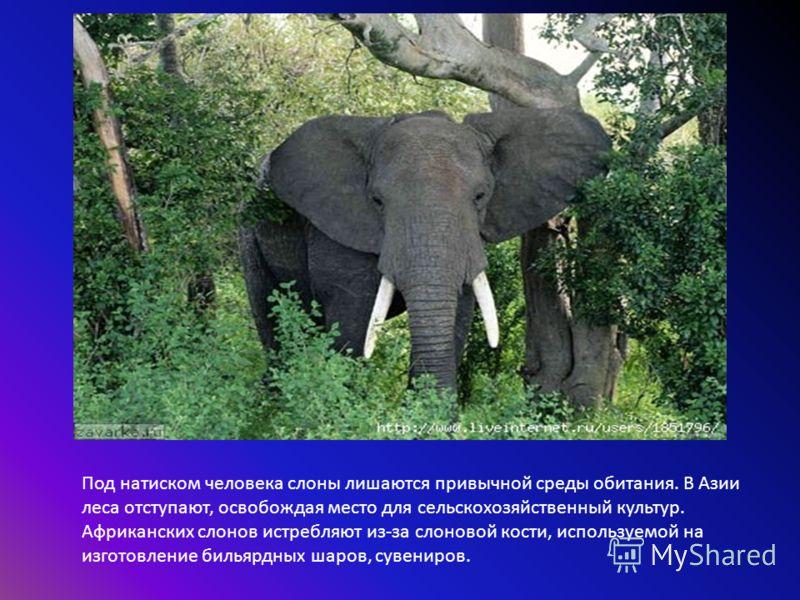 Под натиском человека слоны лишаются привычной среды обитания. В Азии леса отступают, освобождая место для сельскохозяйственный культур. Африканских слонов истребляют из-за слоновой кости, используемой на изготовление бильярдных шаров, сувениров.