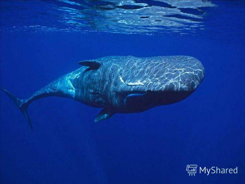 Такие приборы есть и у многих морских животных живые приборы, которыми их наградила сама природа. Таким прибором обладает кашалот; есть он и у дельфина умнейшего животного, какое только существует в царстве природы. Природный локатор есть и у летучей