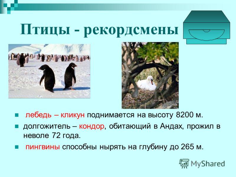 Птицы - рекордсмены лебедь – кликун поднимается на высоту 8200 м. долгожитель – кондор, обитающий в Андах, прожил в неволе 72 года. пингвины способны нырять на глубину до 265 м.