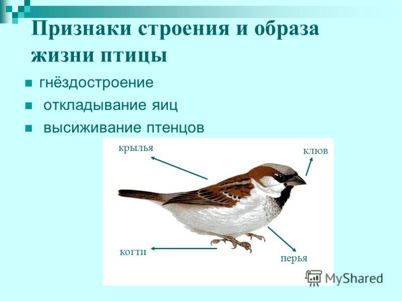 Признаки строения и образа жизни птицы гнёздостроение откладывание яиц высиживание птенцов перья клюв когти крылья