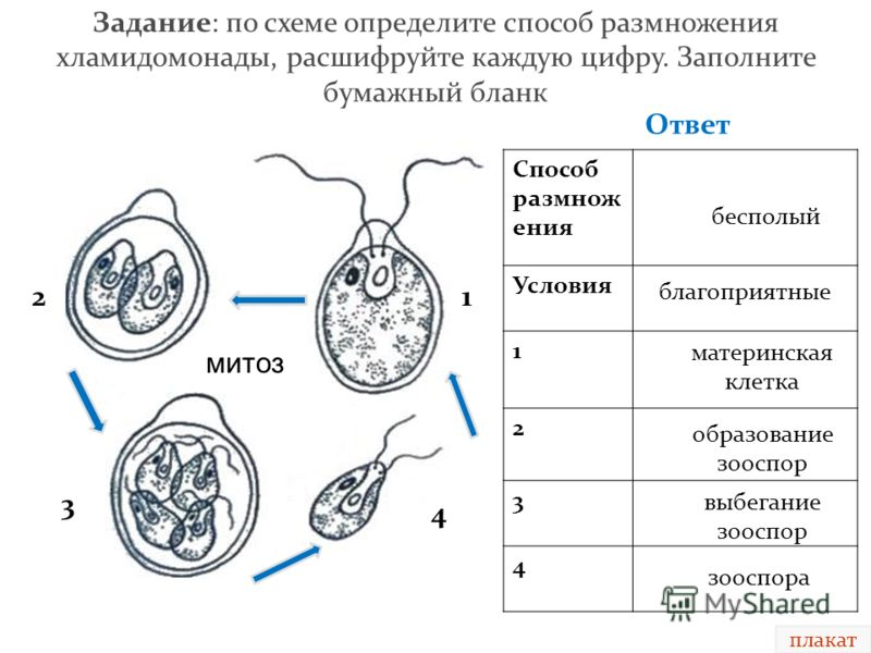 размножение таблица хламидомонада